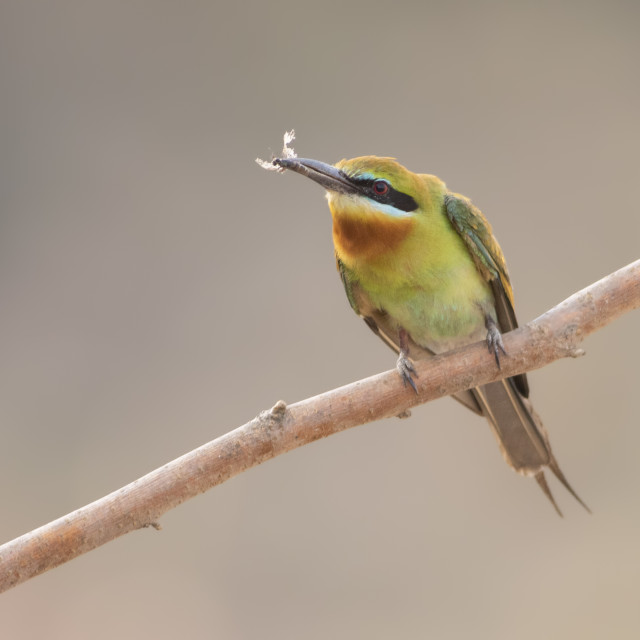 """Blue tailed bee eater with Hunt"" stock image"