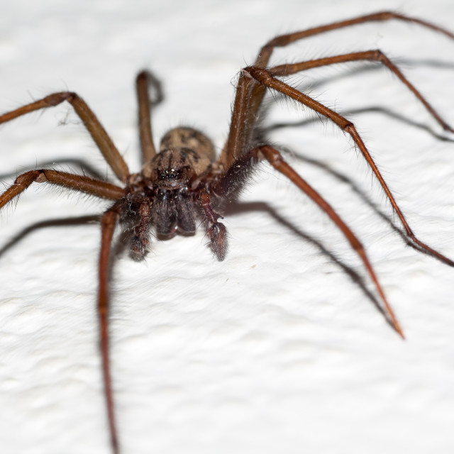 """""""Giant House Spider"""" stock image"""