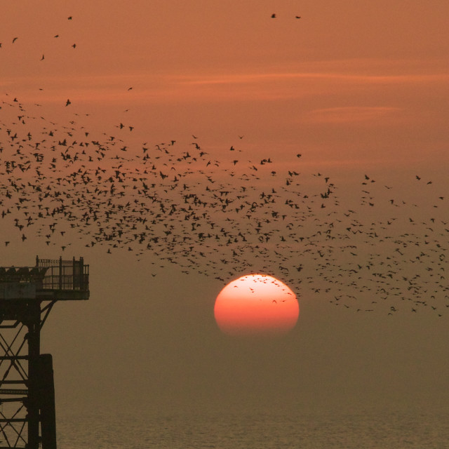"""Murmuration at sunset, Blackpool"" stock image"