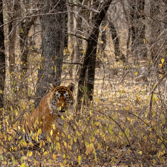 """""""Tiger in Ranthambore NP"""" stock image"""
