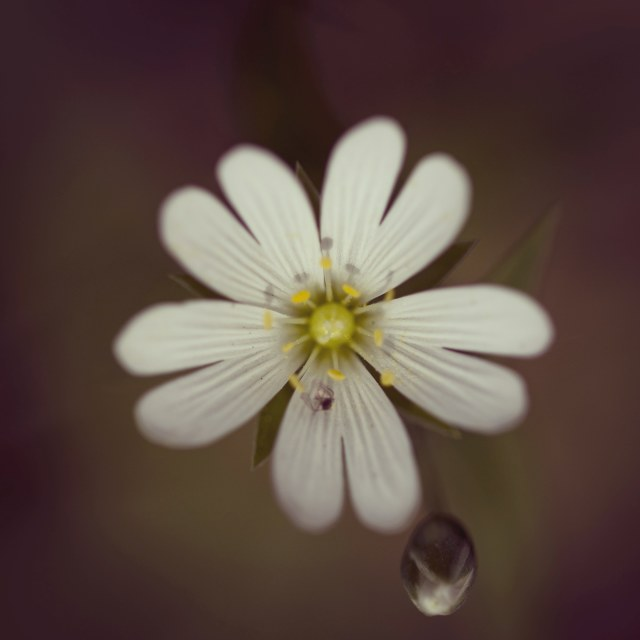 """""""Flower and Droplet"""" stock image"""