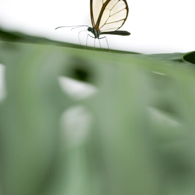 """""""Glasswing butterfly"""" stock image"""