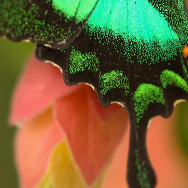 """Swallowtail hindwing"" stock image"