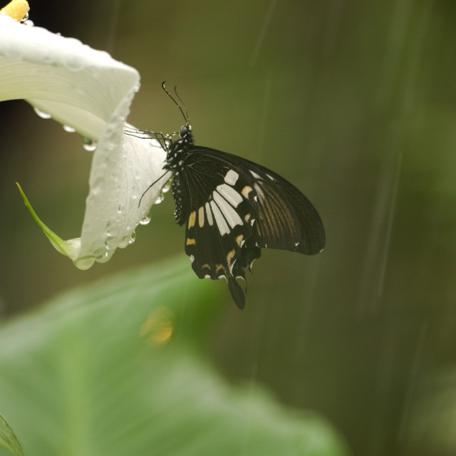 """""""Swallowtail butterfly on lily"""" stock image"""