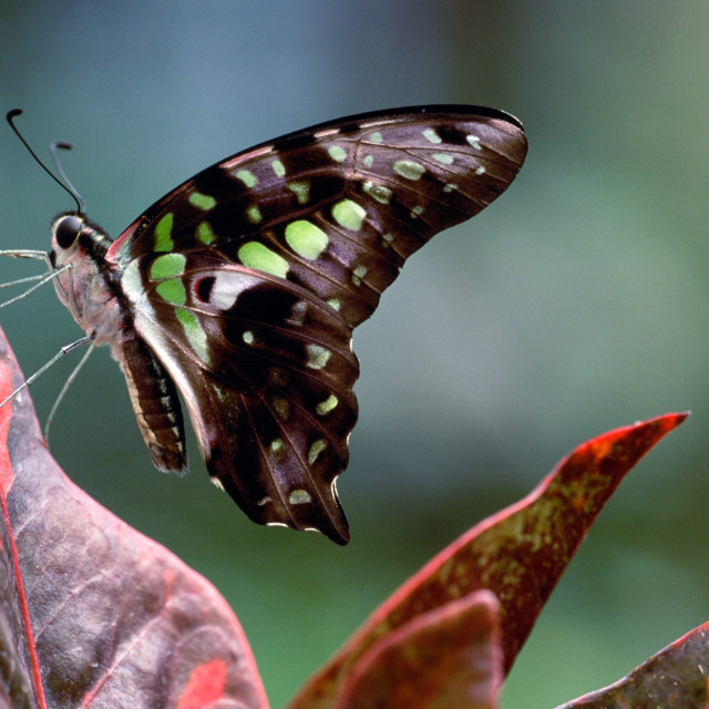 """""""Tailed jay butterfly"""" stock image"""