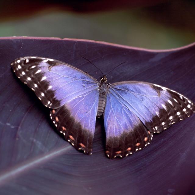 """Morpho butterfly"" stock image"