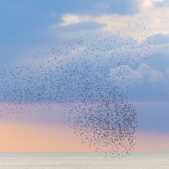 """Starlings at Sunset"" stock image"