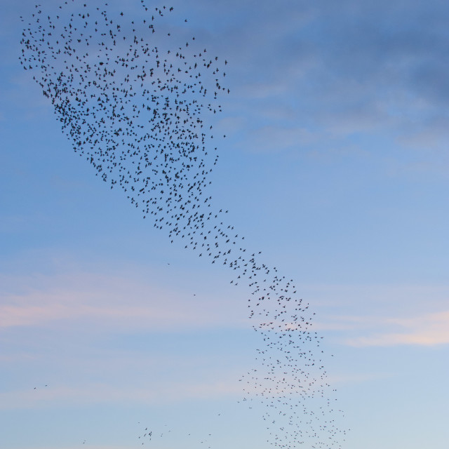 """""""Unusual starling formation"""" stock image"""