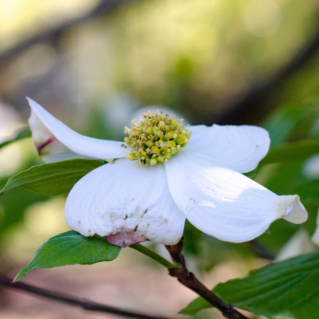 """""""Dogwood flower"""" stock image"""
