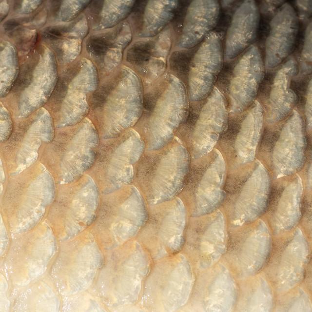 """Big wild carp fish pattern textured skin scales macro view."" stock image"