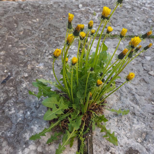 """yellow common Dandelion flower"" stock image"