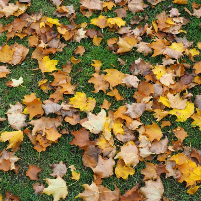 """autumn leaves background"" stock image"