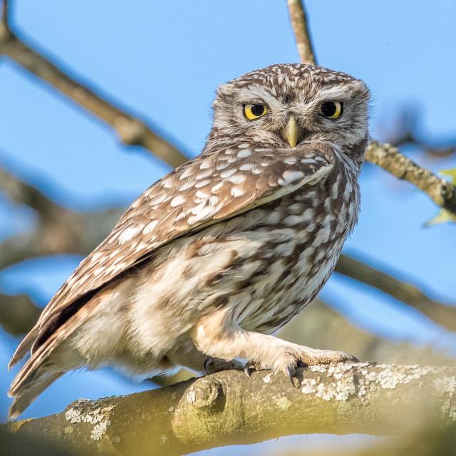 """Little owl in tree"" stock image"