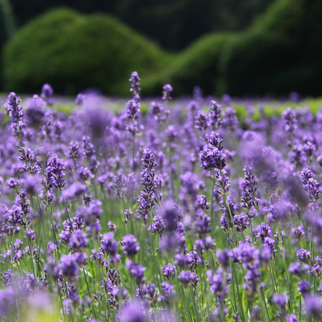 """View of Lavender"" stock image"