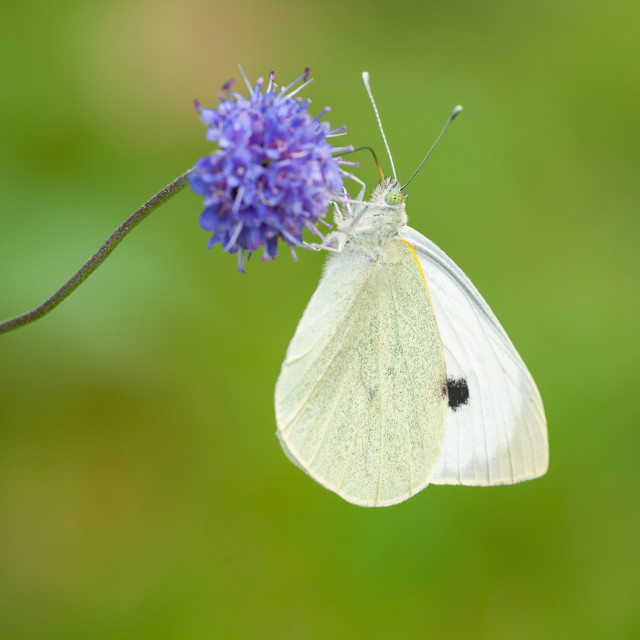 """""""Small White butterfly on scabious"""" stock image"""