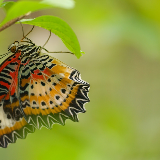 """""""Leopard Lacewing butterfly"""" stock image"""