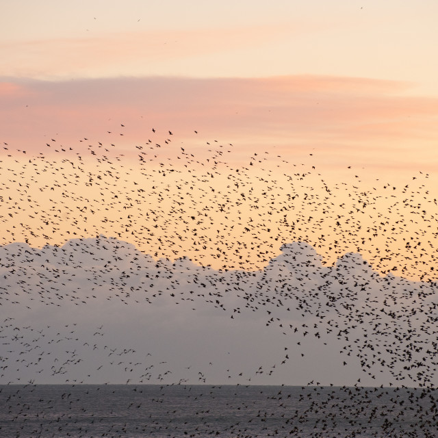 """""""Wave of starlings"""" stock image"""