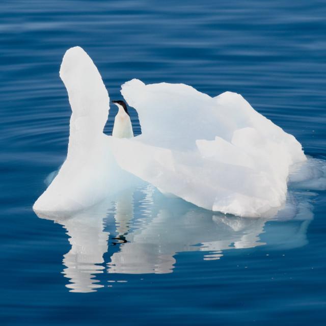 """Adele Penguin floating past on an iceberg"" stock image"