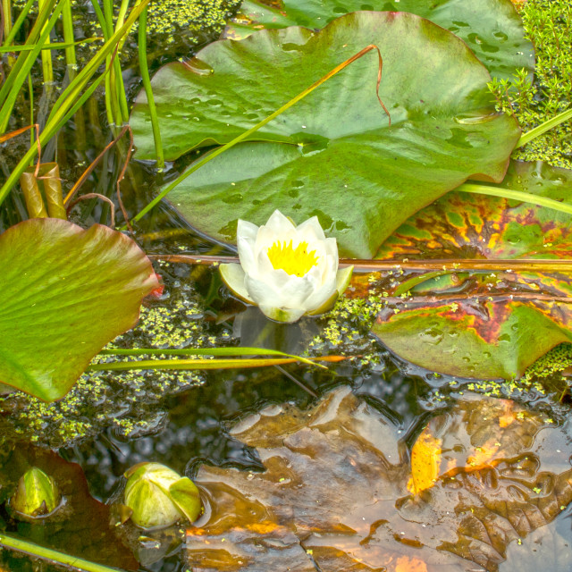 """""""Water Lillies"""" stock image"""