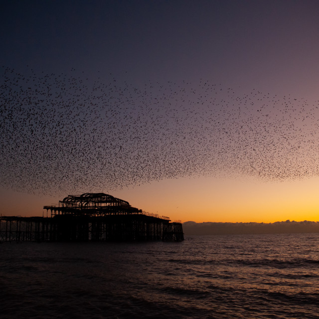 """""""Starling Murmuration over Pier at Dusk"""" stock image"""