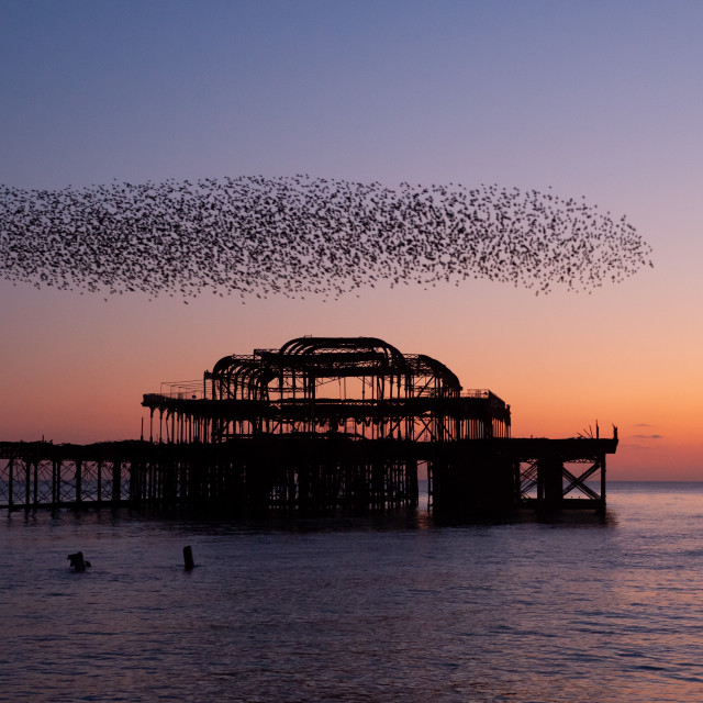 """""""Starlings over Pier"""" stock image"""