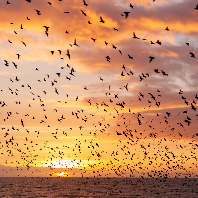 """""""Cloud of Starlings at Sunset"""" stock image"""