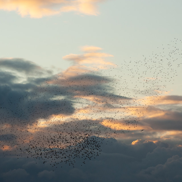 """""""Starlings Amongst The Clouds"""" stock image"""