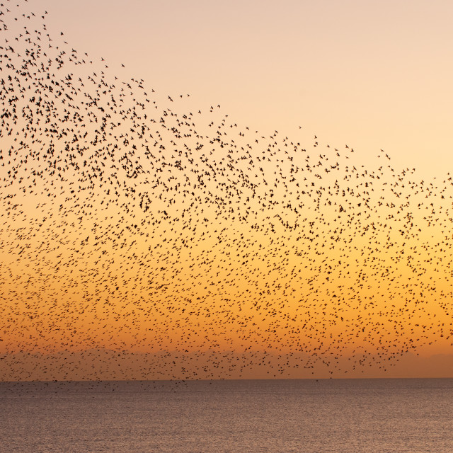 """""""Starling Wave over Sea"""" stock image"""