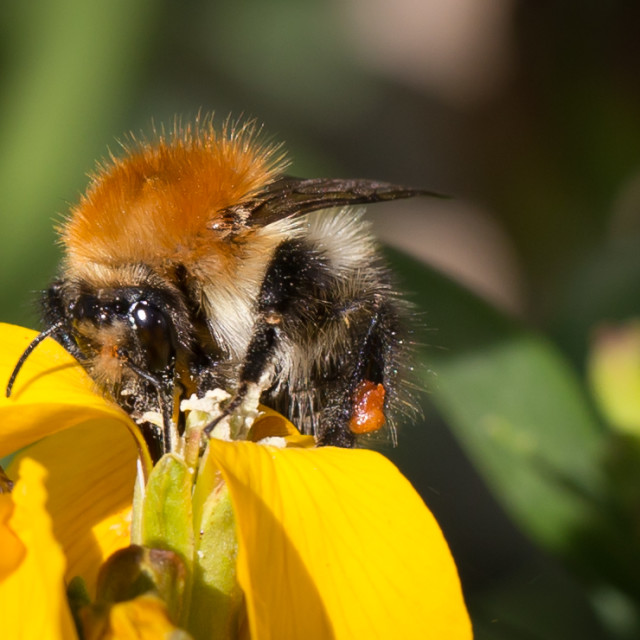 """""""A Bee collecting pollen."""" stock image"""