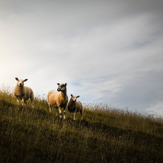 """Sheep in morning light"" stock image"