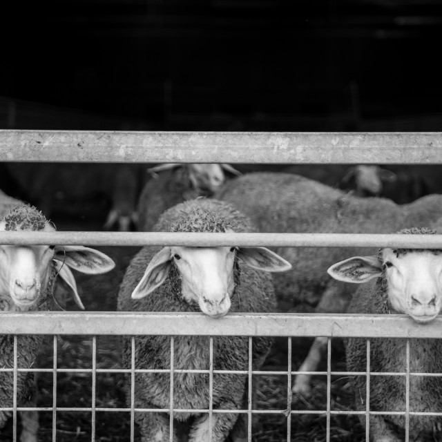 """""""Sheep behind a gate"""" stock image"""