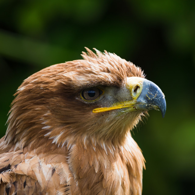 """Portrait of a Harris Hawk"" stock image"