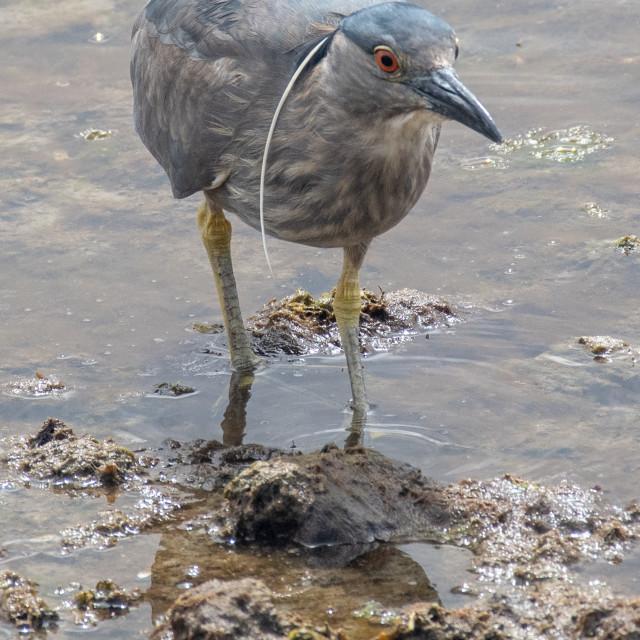 """Black-Crowned Night Heron"" stock image"