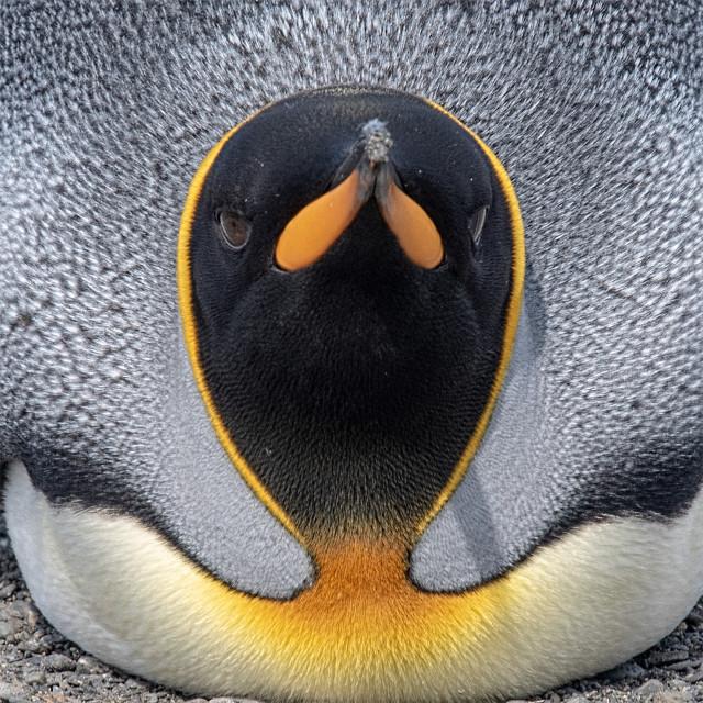 """""""King Penguin"""" stock image"""