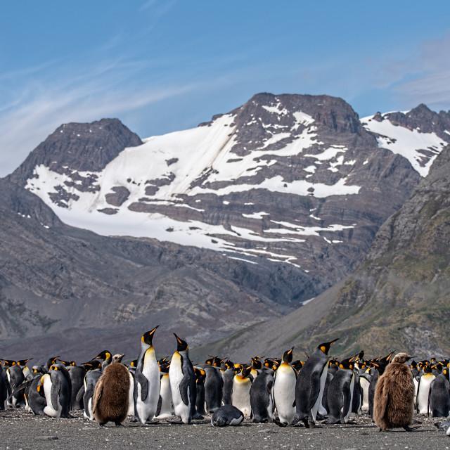 """King Penguins, Salisbury Plain"" stock image"