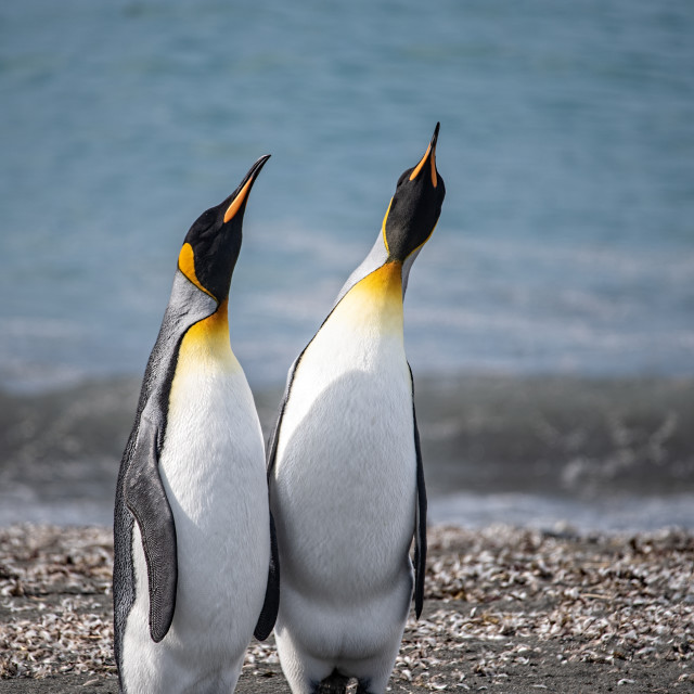 """""""King Penguins looking up"""" stock image"""