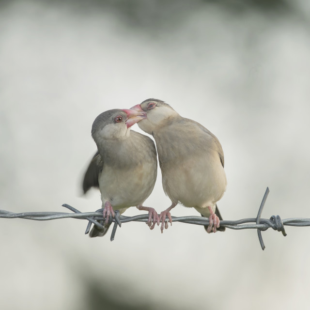 """Java Sparrows"" stock image"