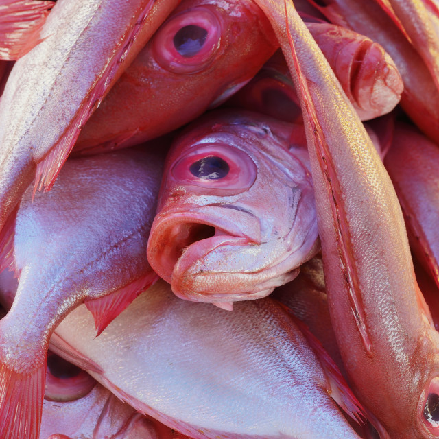 """Big Red Eye Fish"" stock image"