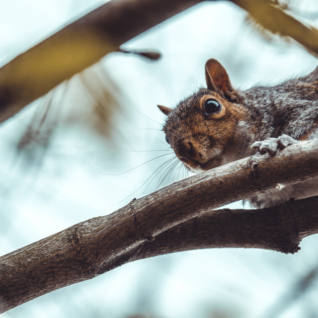 """Gray squirrel looking through branches from above"" stock image"