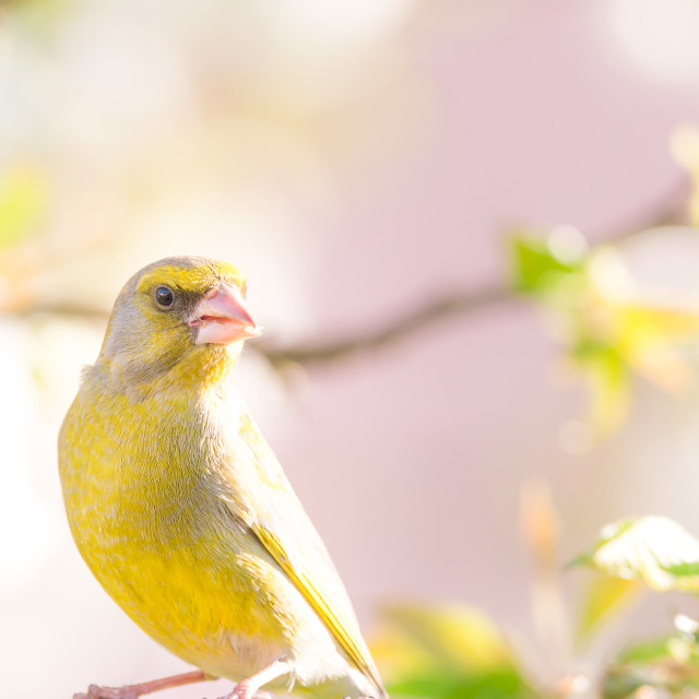 """Single greenfinch bird perched on cherry tree full of blooms"" stock image"