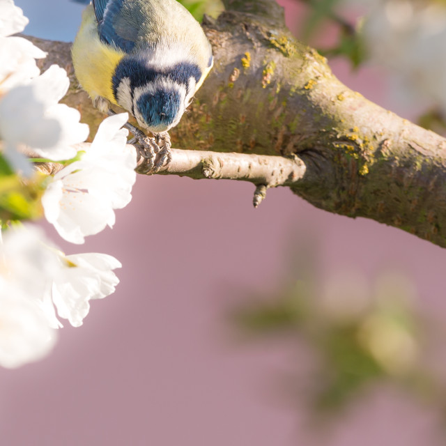 """Nice small blue tit on cherry tree with several blooms eats seeds"" stock image"