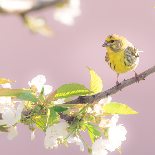 """Nice small colorful bunting bird on cherry tree with several blooms"" stock image"