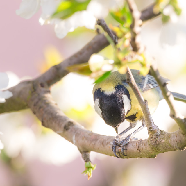 """Nice small great tit on cherry tree with several blooms eats seeds"" stock image"