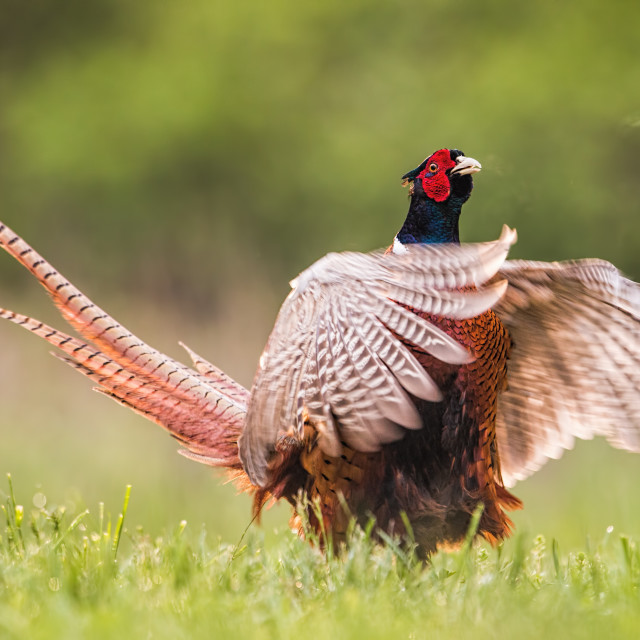 """Common pheasant male calling during breeding season"" stock image"
