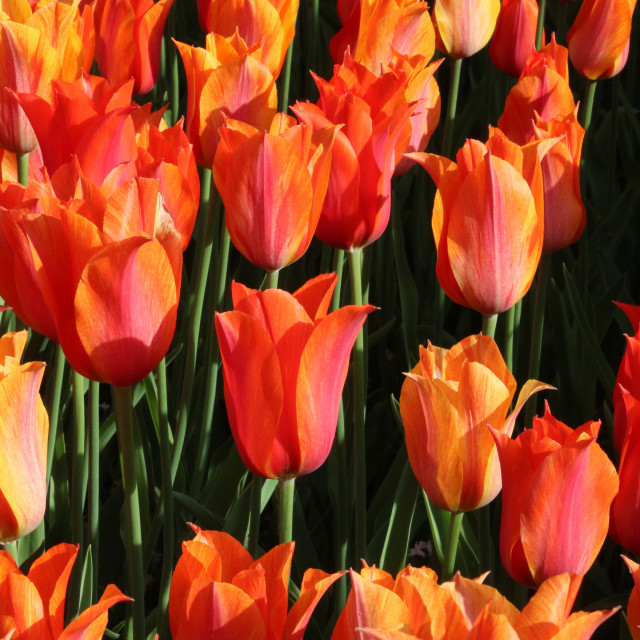 """Orange tulips"" stock image"