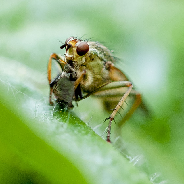 """Robber fly and victim"" stock image"