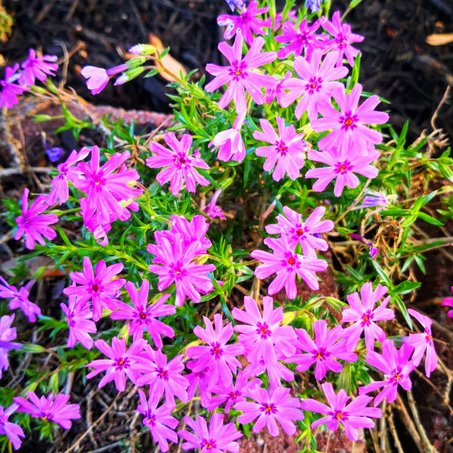 """""""An array of light pink flowers"""" stock image"""