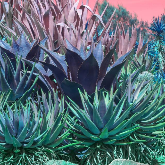 """Succulent agave and aloe vera plants pink orange sky"" stock image"