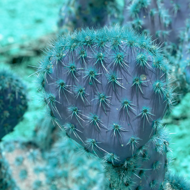 """""""Abstract purple and turquoise thorny cactus closeup"""" stock image"""