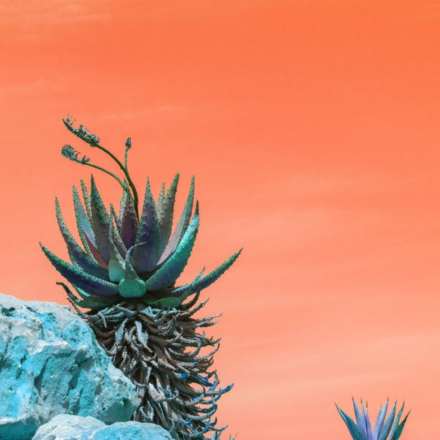 """""""Abstract surrealistic blue and green succulent agave cactus"""" stock image"""